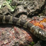 Snakes are common along the Appalachian Trail